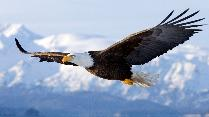 bald-eagle-eagle-flight-wings-animals.jpg